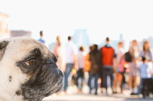 Pug, Jersey City Best Dog Walker